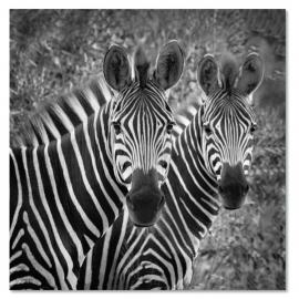 Zebra Tweetal