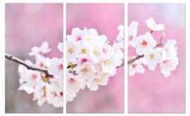 Cherry blossoms: foto schilderij