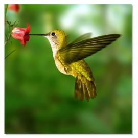 Kolibrie art print