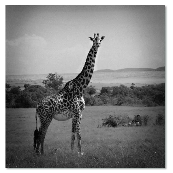 Giraffe Zwart-Wit