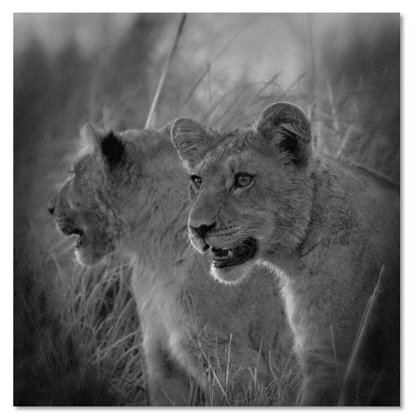 Jonge Leeuwen