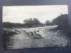 Putten, Kudde schapen op de Veluwe, 1916