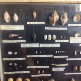 Schelpen display