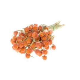 Gomphrena / Kogelamaranth Orange