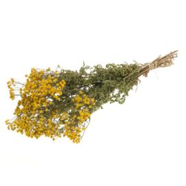 Matricaria naturel yellow
