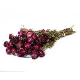 Helichrysum /Strobloem dark pink