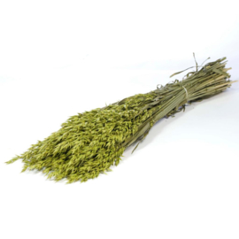 Haver (Avena) green