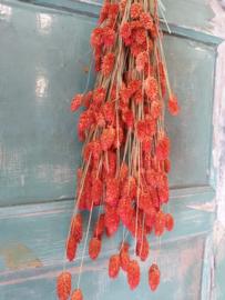 Phalaris Tangerine