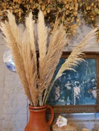 Cortederia Pampas gras