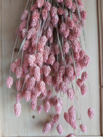 Phalaris pink misty