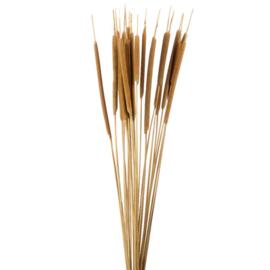 Typha, Lisdodde medium bos(5st)