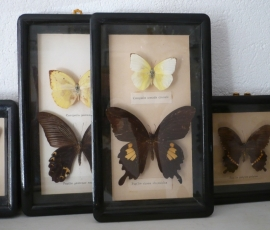 Vlinder portretje VERKOCHT