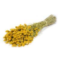 Phalaris/ Kanariegras Yellow