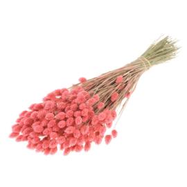 Phalaris / Kanariegras Pink