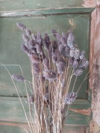 Phalaris - Kanariegras Old grey