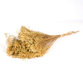 Gedroogde Broom bloom naturel