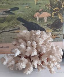 Oud koraal