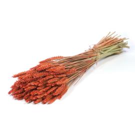Tarwe Orange