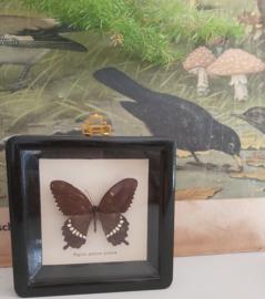 Vlinderlijstje
