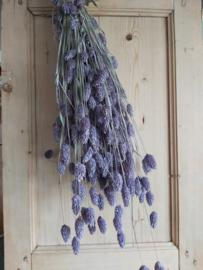 Phalaris / Kanariegras lila