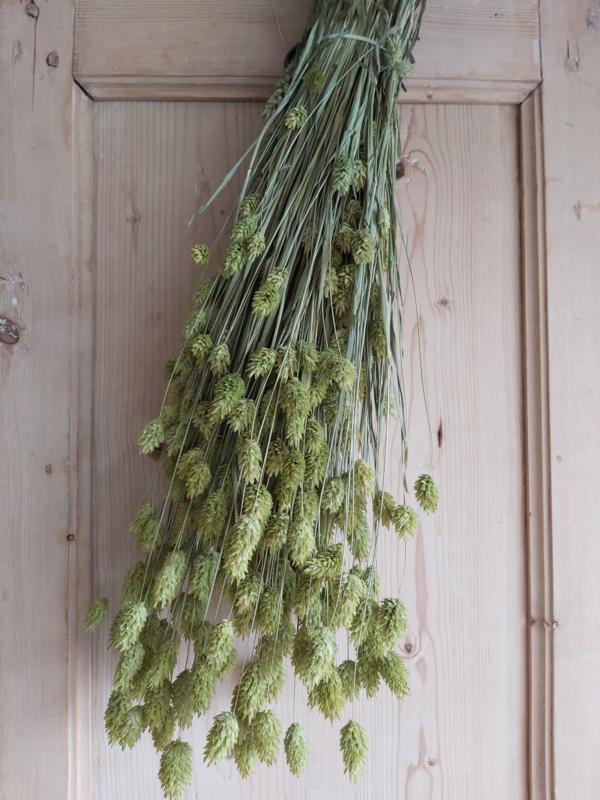 Phalaris appeltjes groen