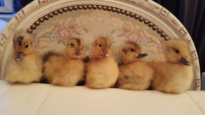 Eende kuikens opgezet