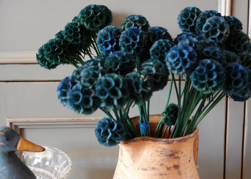 Scabiosa blue