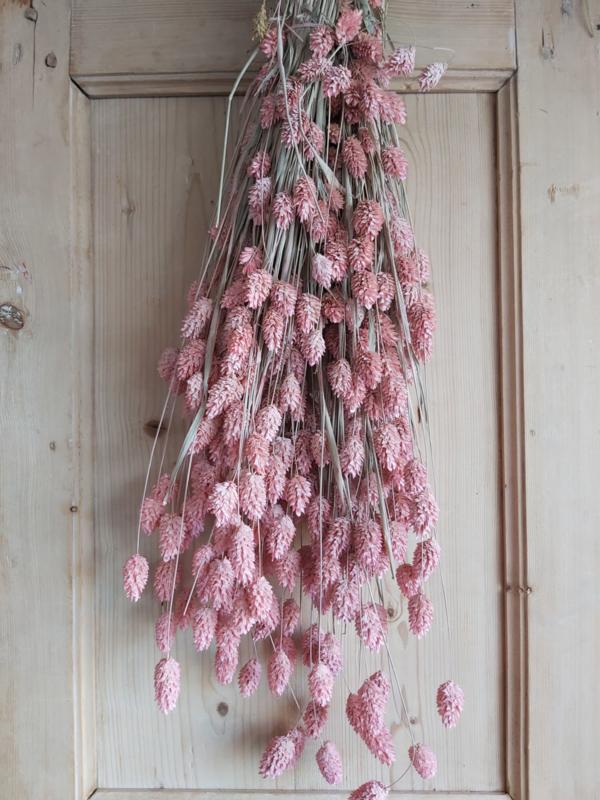 Phalaris roze