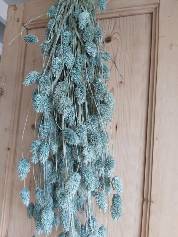 Phalaris/ Kanariegras licht blauw