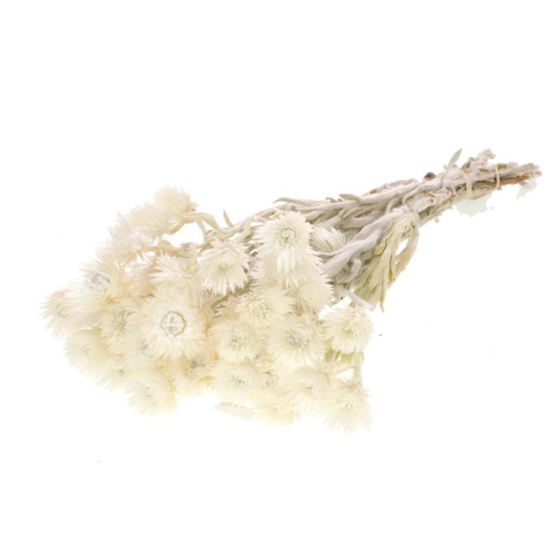 Helichrysum Vestitum naturel