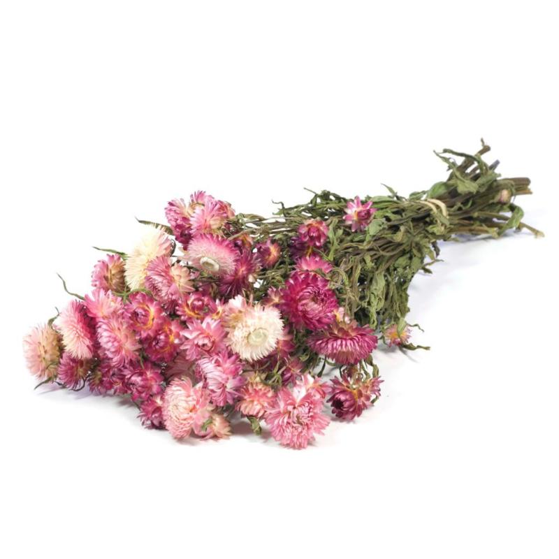 Helichrysum pink