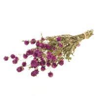 Gomphrena / Kogelamarant purple