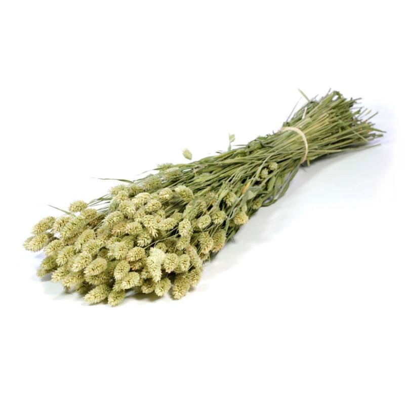 Gedroogde Phalaris naturel green