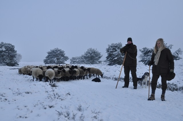 Schaapskudde Elspeet met herders die gesponsorde schoenen laten zien