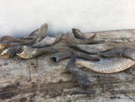 Stoere mat grijze vergrijsde gekrulde hoorn hoorntjes mat ruw geit springbok schaap bok ram