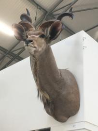 Prachtig groot opgezet hert springbok ree bok hoorns gewei 1,5 meter stoer grijsbruin landelijk