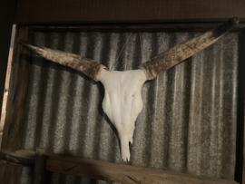 Groot gewei schedel buffel bull koe met hoorns kop