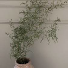 Bundel van 5 takken Wilde asparagus