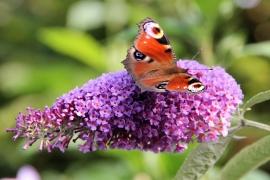 Butterfly Flower 50x33 cm