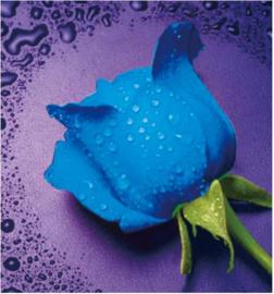 Blauwe roos 21x23,5 cm
