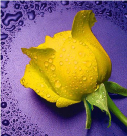 Gele roos 21x23,5 cm