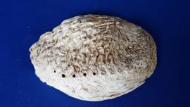 Abalone schelp L