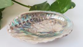 Abalone schelp M