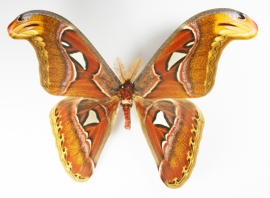 Atlasvlinder (Attacus atlas)