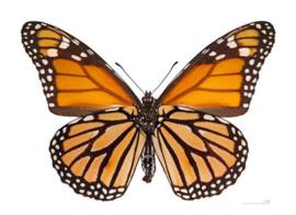 Danaus plaxuppus - De Monarchvlinder