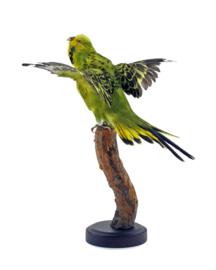 Grasparkiet (Melopsittacus undulatus)