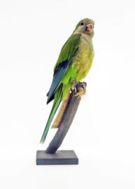 Monniksparkiet (Myiopsitta Monachus)