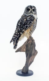 Chacobosuil(Strix chacoensis)