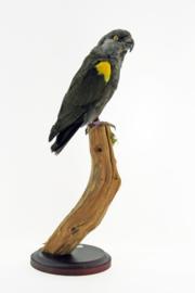 Ruppels papegaai ( Poicephalus rueppellii )