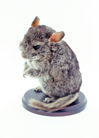 Cinchilla	( Chinchilla lanigera )